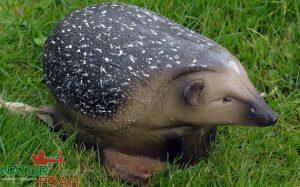 Piggsvin-0